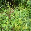 4-2 カヤツリグサ(キガヤツリ)